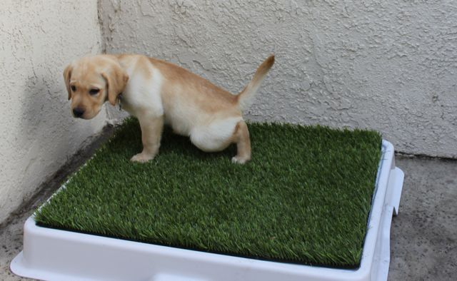 Puppy House Training Supplies How To Train Your Kitten To Go To The Bathroom Outside Potty